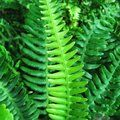 HARDY FERNS Blechnum spicant 
