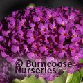 BUDDLEJA davidii 'Harlequin' 
