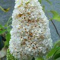 BUDDLEJA davidii 'White Profusion' 