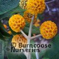 BUDDLEJA globosa  