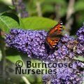 BUDDLEJA 'Lochinch'  