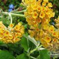 BUDDLEJA x weyeriana 'Sungold' 