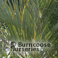 Small image of BUTIA