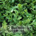 Small image of BUXUS