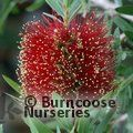 CALLISTEMON citrinus 'Little John'