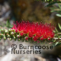 Small image of BOTTLEBRUSH - see CALLISTEMON