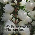 HEATHERS Calluna vulgaris 'Kinlochruel'