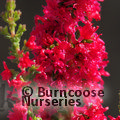 HEATHERS Calluna vulgaris 'Red Beauty'