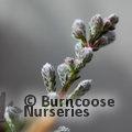 HEATHERS Calluna vulgaris 'Silver Fox'