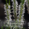 HEATHERS Calluna vulgaris 'Spring Cream'