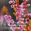 HEATHERS Calluna vulgaris 'Wickwar Flame'