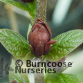 Small image of CALYCANTHUS