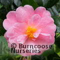 Photo of CAMELLIA 'Pink Icicle'