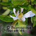 CAMELLIA sasanqua White 