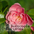 CAMELLIA 'Strawberry Parfait'