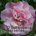 CAMELLIA 'Tiffany'  