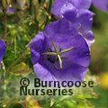 Small image of CAMPANULA