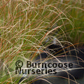 Small image of CAREX