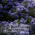 CEANOTHUS 'Blue Mound'  