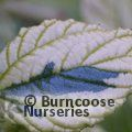 CEANOTHUS griseus 'Diamond Heights'