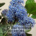 Ceanothus griseus 'Yankee Point'