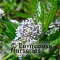 CEANOTHUS thyrsiflorus var repens 