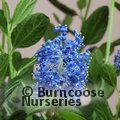 CEANOTHUS thyrsiflorus 'Skylark' 