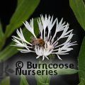 Small image of CENTAUREA