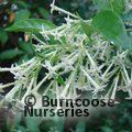 Small image of CESTRUM