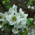 Small image of CHAENOMELES