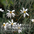 Small image of CHILIOTRICHUM