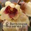 Small image of CHIMONANTHUS
