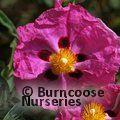 CISTUS   