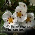 CISTUS x purpureus 'Alan Fradd' 