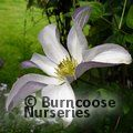 CLEMATIS 'Huldine'  