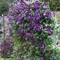 CLEMATIS 'Jackmanii Superba'  