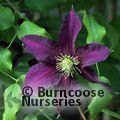 CLEMATIS 'Niobe'  