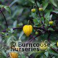 CLEMATIS orientalis 'Orange Peel'