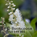 Small image of CLETHRA