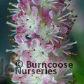 Late Summer Flowering Trees & Shrubs Offer