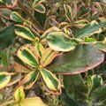 COPROSMA 'Fireburst'  