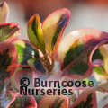Small image of COPROSMA