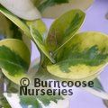 COPROSMA repens 'Taupata Gold' 