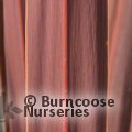 Small image of DRACAENA PALM - see CORDYLINE