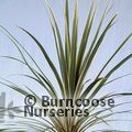 CORDYLINE australis 'Torbay Dazzler' 