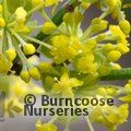 CORNUS mas 'Aurea' 