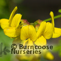 Small image of HIPPOCREPIS - see CORONILLA emerus