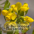 CORONILLA valentina subsp glauca  