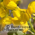 Small image of CORONILLA