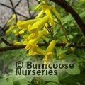 CORYDALIS lutea  
